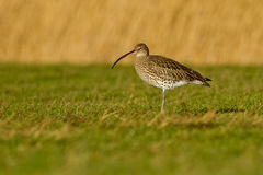 Long-Billed Curlew (Numenius arquata ) Stock Photos