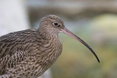 Long-Billed Curlew (Numenius arquata) Stock Image