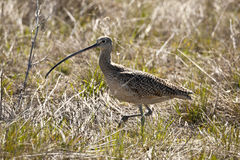 Long Billed Curlew Royalty Free Stock Images