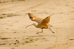 Long Billed Curlew Running on Beach Royalty Free Stock Photo