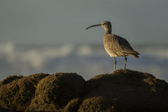 Long-billed Curlew. A long-billed curlew scans its surroundings along the rocky shores of the Monterey Peninsula, California Royalty Free Stock Images