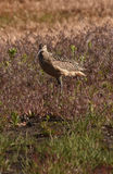 Long billed curlew Stock Photos