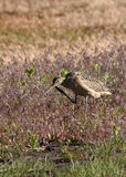 Long billed curlew Stock Image