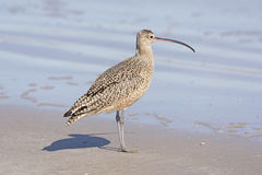 Long-billed Curlew on the Shore Stock Photography