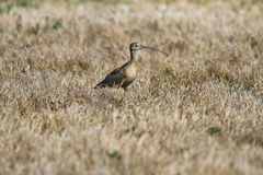 Long-billed Curlew Stock Images