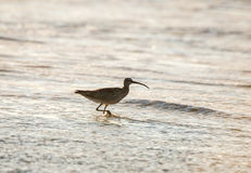 Long-billed Curlew wild bird on the west coast shore Royalty Free Stock Photography