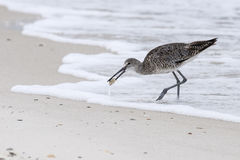 Long-billed Dowitcher. A long-billed dowitcher carrying a small crab that it has just caught Royalty Free Stock Photography