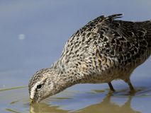 Long-billed dowitcher drinking. Long-billed dowitcher at Gilbert Water Ranch, Gilbert, AZ Royalty Free Stock Photos