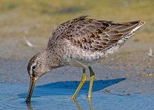 Long-billed Dowitcher - juvenile Stock Image