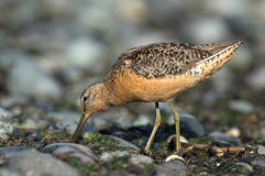 Long-billed Dowitcher (Limmodromus scolopaceus) Stock Image
