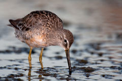 Long-billed Dowitcher (Limnodromus scolopaceus) Royalty Free Stock Images