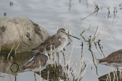 Long-billed Dowitcher (Limnodromus scolopaceus) Stock Photography