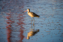 Long-billed Dowitcher (Limnodromus scolopaceus) reflected by famous Golden-Gate Bridge Stock Photos