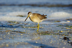 Long Billed Dowitcher Stock Photography