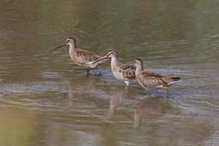 Long billed dowitcher. Long-billed dowitcher at Richmond BC Canada 2017 Sep Royalty Free Stock Images