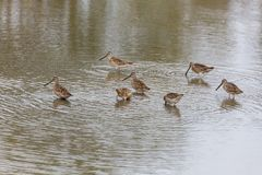 Long billed dowitcher. Long-billed dowitcher at Richmond BC Canada 2017 Sep Stock Photography