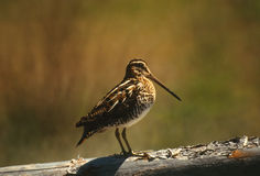 Long Billed Dowitcher in the Magic Light Stock Images
