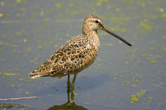 Long-billed Dowitcher perched Royalty Free Stock Image