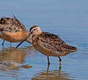 Long-billed Dowitcher Royalty Free Stock Photos