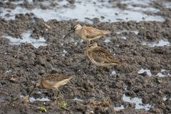 Long billed dowitcher. Long-billed dowitcher at Richmond BC Canada 2017 Sep Stock Images