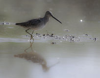 Long-billed dowitcher. A sandpiper-like bird checking out the shallow waters of a riparian pond. Early morning light Royalty Free Stock Photos