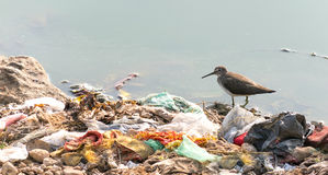 Long billed dowitcher struggling to survive due to pollution. Indian Long-billed Dowitcher, wading in water surrounded by human garbage waste. These birds are Royalty Free Stock Photos