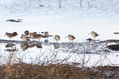 Long-billed Dowitcher Royalty Free Stock Image
