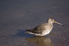 Long-billed Dowitcher wading Stock Image