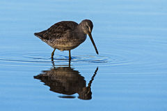 Long Billed Dowitcher Stock Photo