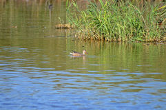A long Billed duck Royalty Free Stock Images