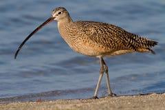 Long-billed großer Brachvogel (Numenius americanus) Lizenzfreie Stockfotos