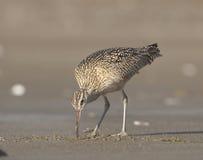 Long-billed großer Brachvogel Stockfotografie