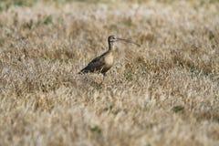 Long-billed großer Brachvogel Stockbilder