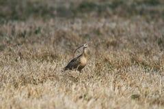 Long-billed großer Brachvogel Stockfoto