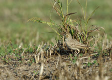 Long-billed pipit Royalty Free Stock Photos