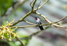 Long-billed Starthroat royalty free stock photography