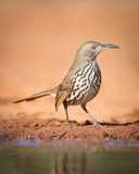 Long-billed thrasher Stock Photo