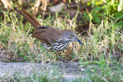 Long-billed Thrasher Stock Photography