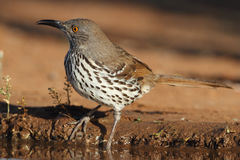 Long-billed Thrasher- Texas Stock Photography