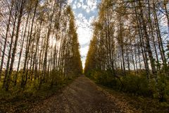 Birch alley. Long birch alley on a warm, sunny autumn day Stock Image