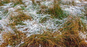 Long blades of grass covered with a thin layer of snow Royalty Free Stock Image
