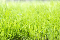 Long blades of grass. Long blades of green grass Stock Photo