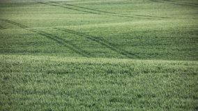 Green wheat field in the summer Royalty Free Stock Photo