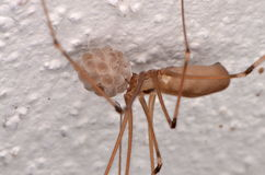 Long-bodied Cellar Spider (Pholcus phalangioides). In house Royalty Free Stock Photography