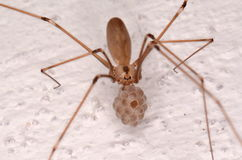 Long-bodied Cellar Spider (Pholcus phalangioides). In house Stock Images