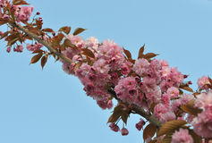 Long Branch with Pink Cherry Blossoms Stock Images