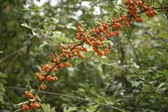 Long branch of scarlet firethorn Pyracantha coccinea with oran. Ge fruits against a green background with copy space, selected focus royalty free stock photography