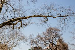 Long branchy tree with pigeons on branches. The branchy tree and a group of pigeons birds in early spring stock photography
