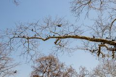 Long branchy tree with pigeons on branches. The branchy tree and a group of pigeons birds in early spring stock photos