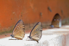 Long branded blue crow butterflies Stock Image